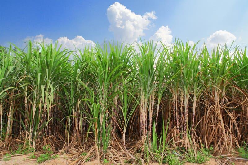 Download Sugarcane field stock image. Image of biomass, closeup - 27034531