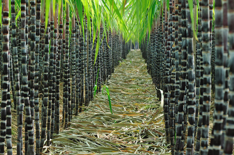 Sugarcane field stock image
