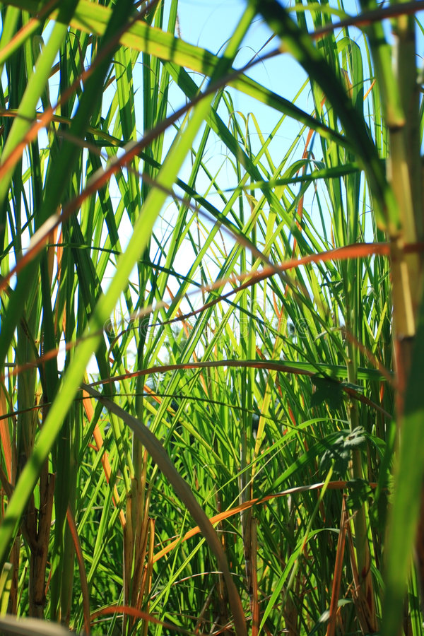 Free Sugarcane Field Stock Photos - 5805233