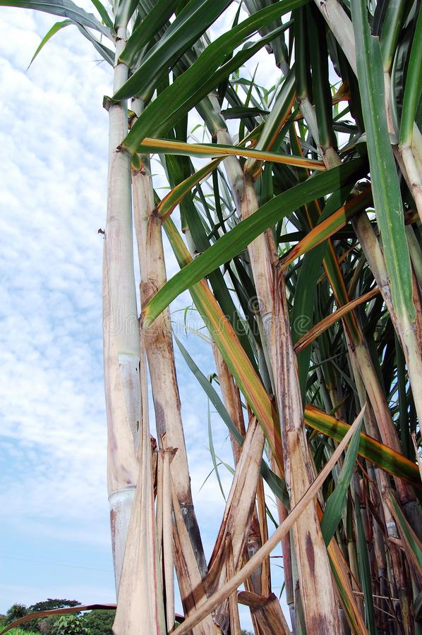 Sugarcane in full field. Sugarcane in the field. The cane from there goes to the industry where it is processed to turn it into sugar royalty free stock image