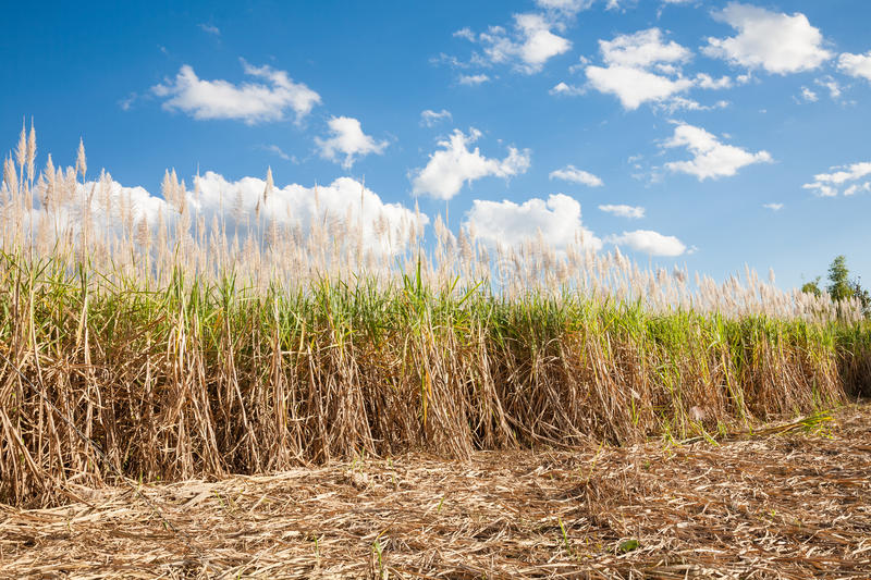 Sugarcane field, Myanmar stock images