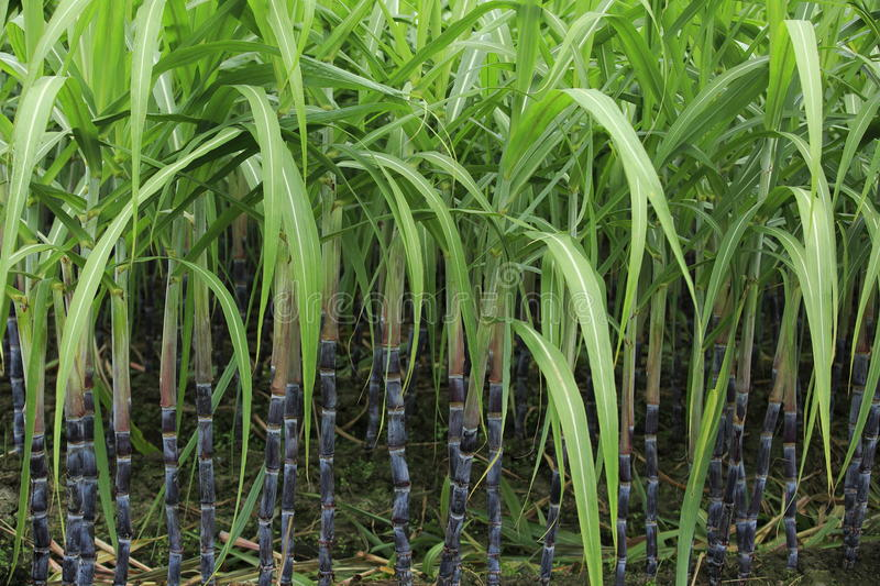 Sugarcane at field royalty free stock images
