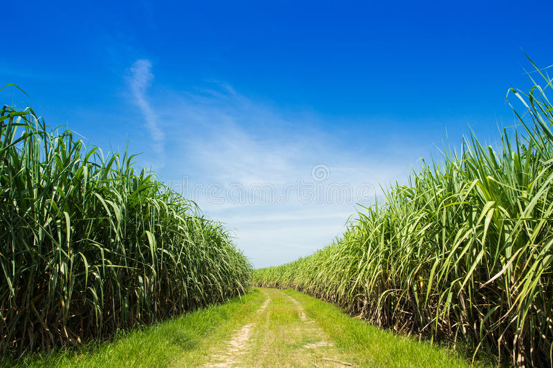 Sugarcane field and road with white cloud stock photos