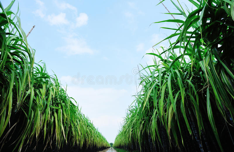 Sugarcane field and trail royalty free stock photography