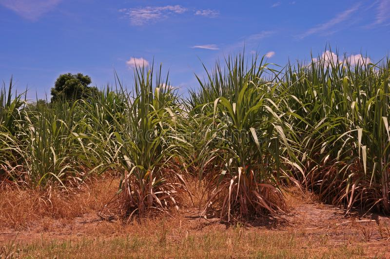 Sugarcane field,weed died from post emergence herbicide royalty free stock photo