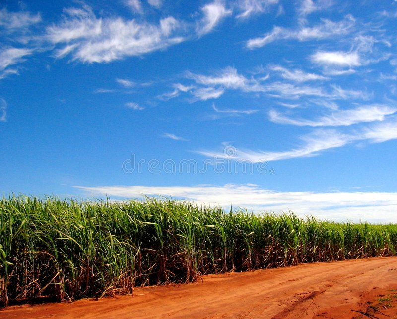 Sugarcane Fields Forever royalty free stock photography
