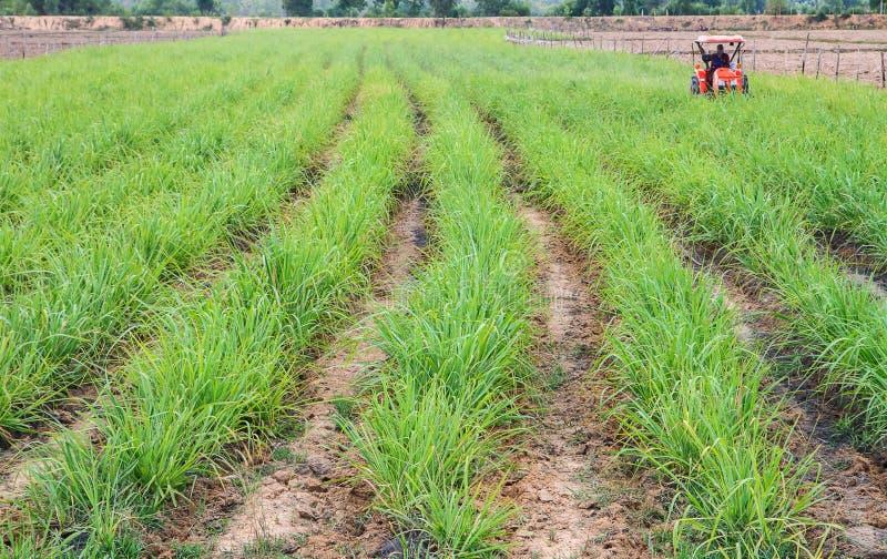 Sugarcane fram. Wonderfull rows of green sugar cane royalty free stock photo