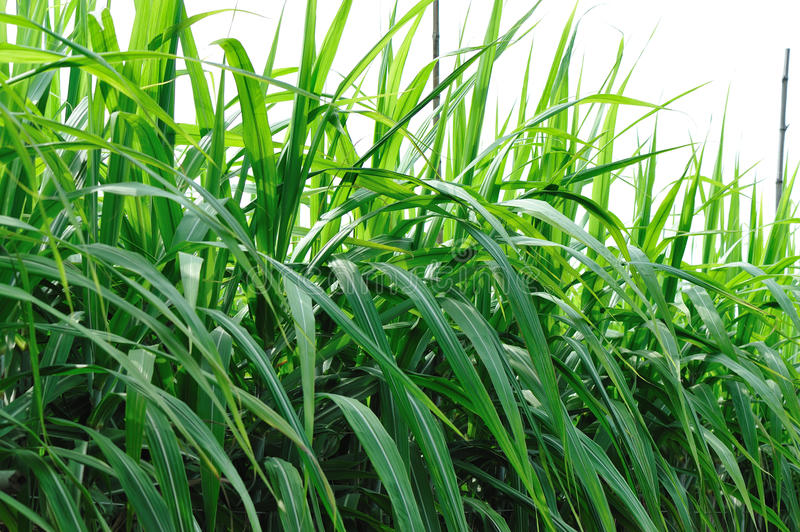 Sugarcane grass. Black sugar cane grass in field royalty free stock images
