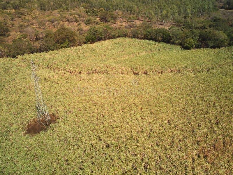 Sugarcane green field royalty free stock image