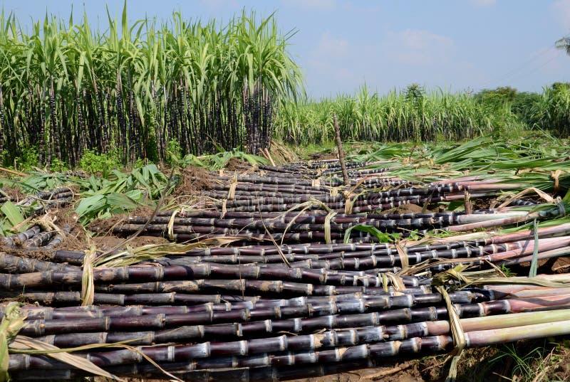 Cane cultivation plantation strip sugar tillage