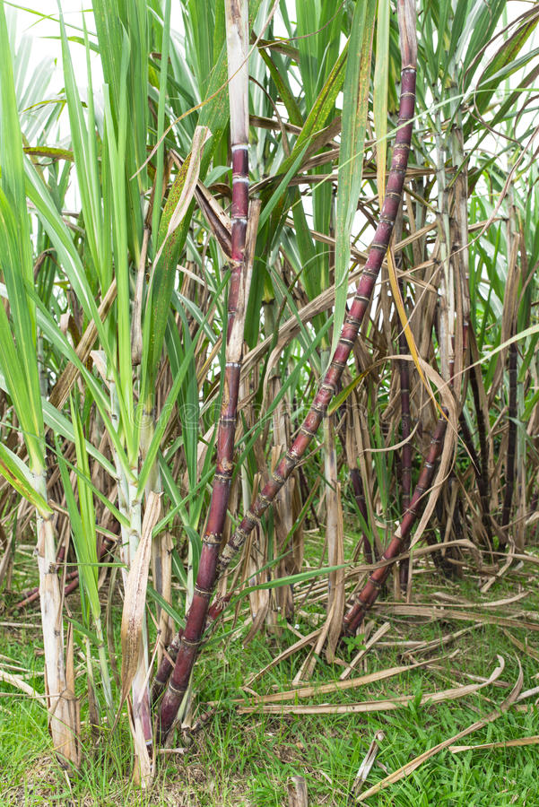 Sugarcane royalty free stock images