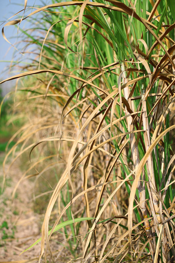 Download Sugarcane Royalty Free Stock Images - Image: 37067509