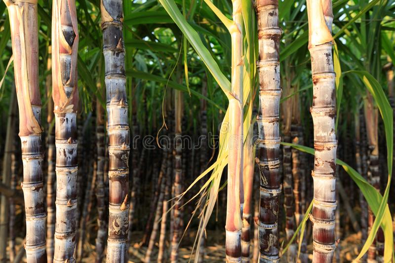 Sugarcane plants at field. Closeup of sugarcane plants in growth at field royalty free stock photos
