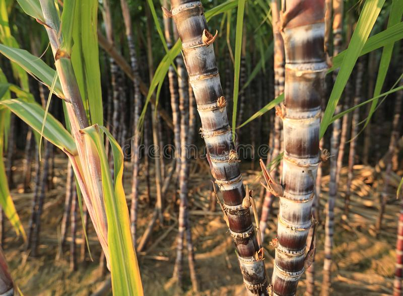 Sugarcane plants at field. Sugarcane plants growing at field stock photo