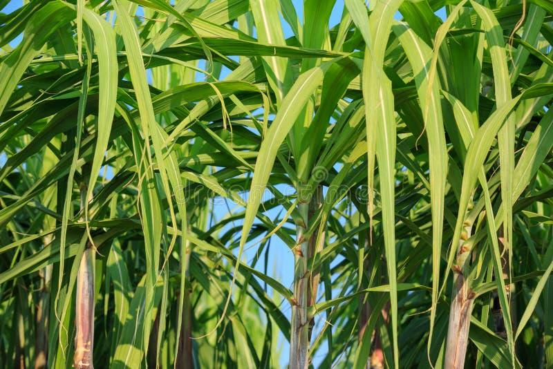 Sugarcane plants at field. Sugarcane plants growing at field royalty free stock photo