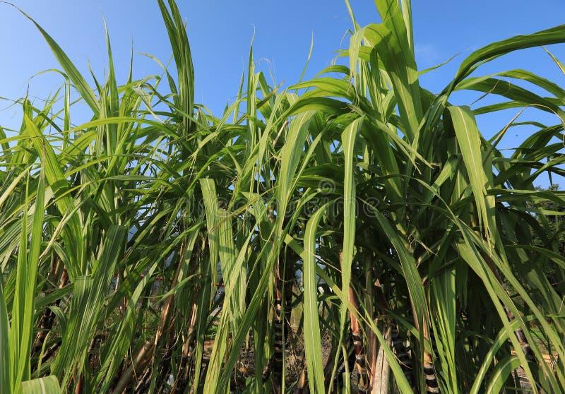 Sugarcane plants at field. Sugarcane plants growing at field stock image