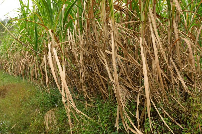Sugarcane plants at field. Sugarcane plants growing at field stock images