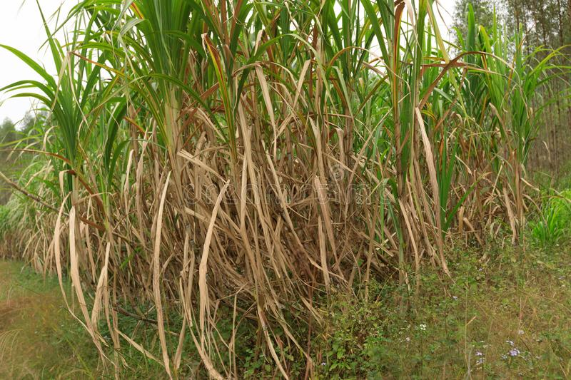Sugarcane plants at field. Sugarcane plants growing at field stock photography