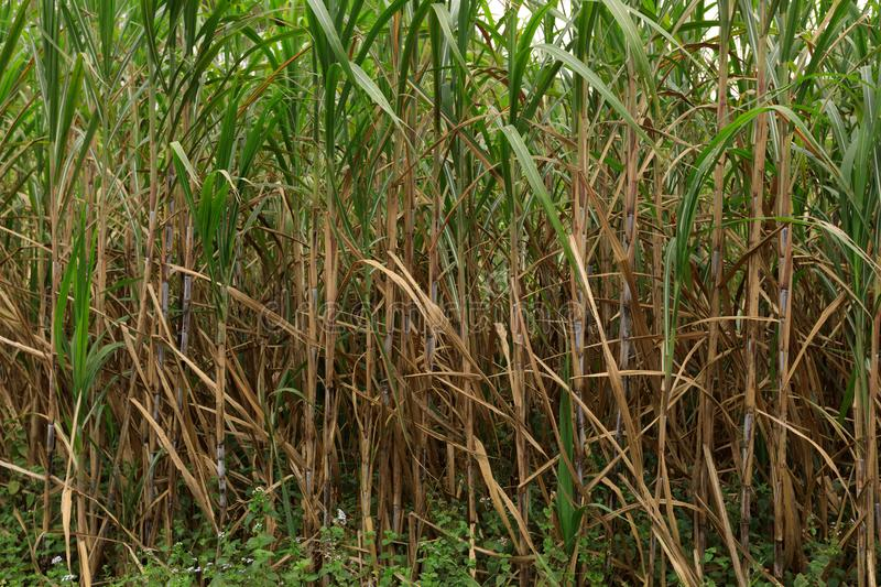 Sugarcane plants at field. Sugarcane plants growing at field royalty free stock photography