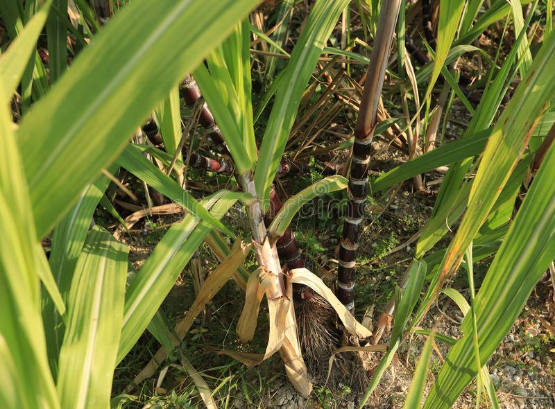 Sugarcane plants at field. Sugarcane plants growing at field royalty free stock images