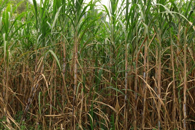Sugarcane plants at field. Sugarcane plants growing at field stock photos