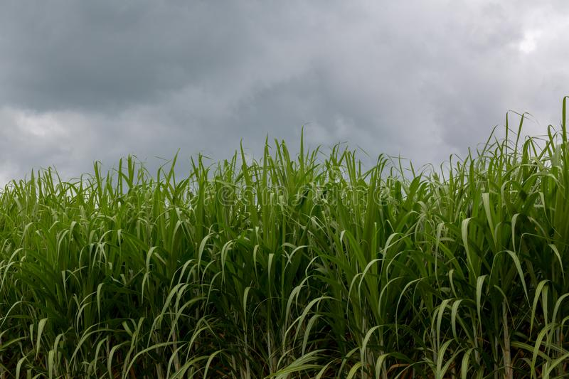 sugarcane plants grow in field. stock images