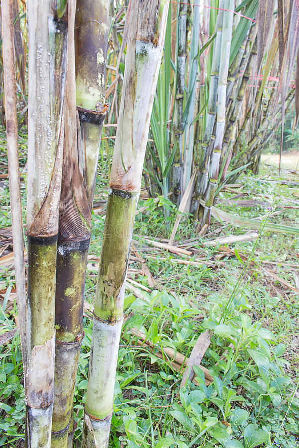 Sugarcane plants. Grow in field in Thailand stock photo