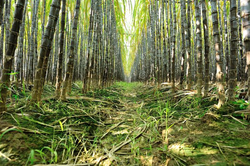 Sugarcane plants growing. At field stock photography