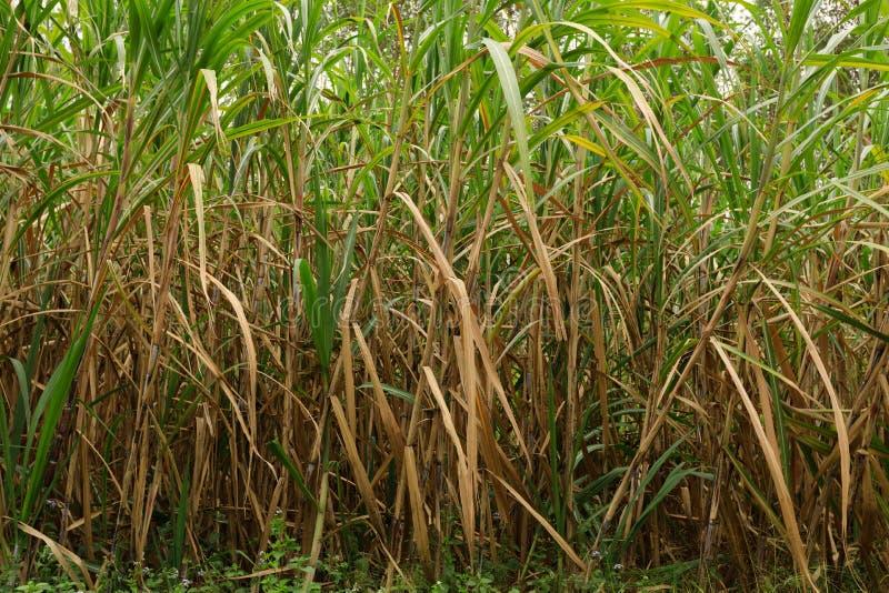 Sugarcane plants at field. Sugarcane plants growing at field royalty free stock image
