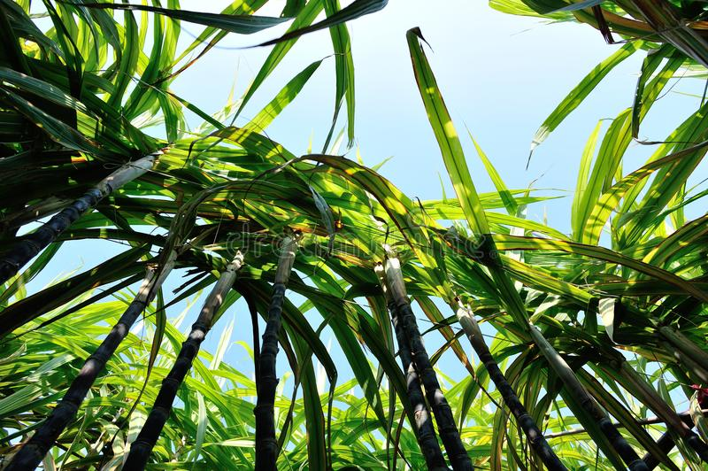 Sugarcane plants growing. At field royalty free stock images