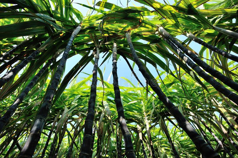 Sugarcane plants growing. At field royalty free stock photo