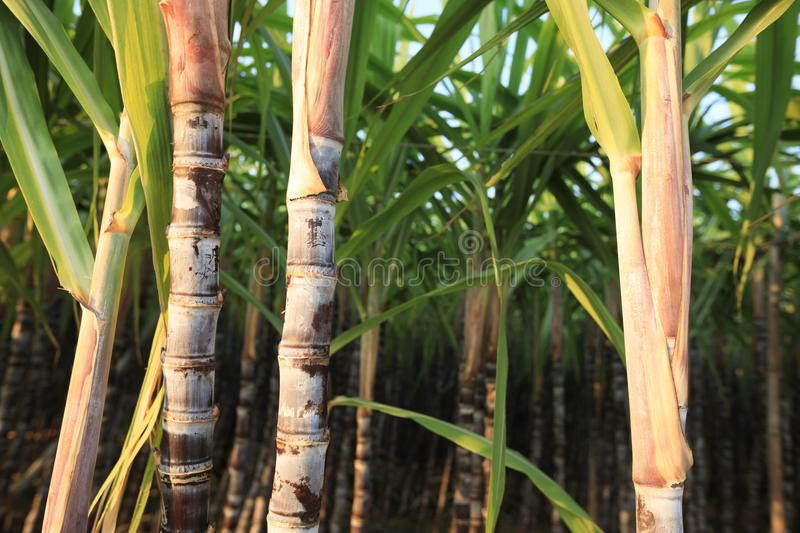 Sugarcane plants growing. At field stock images