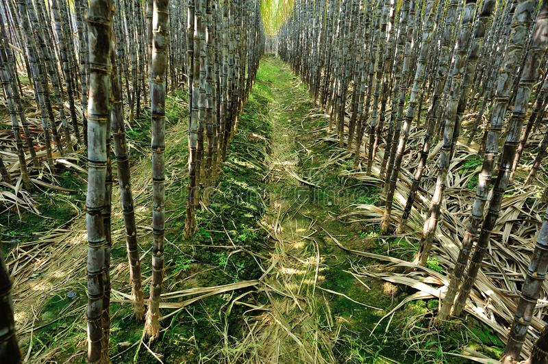 Sugarcane plants growing. At field royalty free stock photos