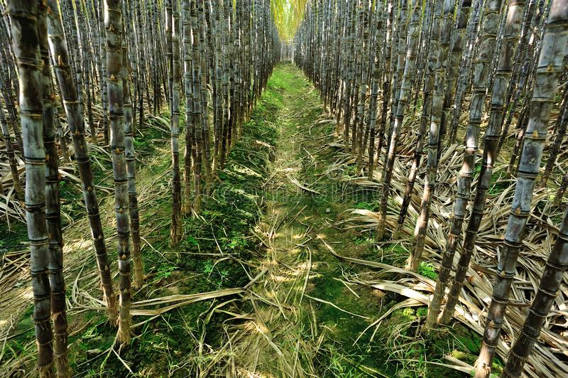 Sugarcane plants growing. At field stock photo