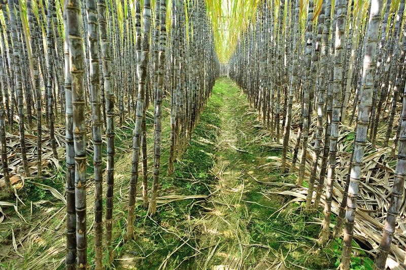 Sugarcane plants growing. At field stock photos