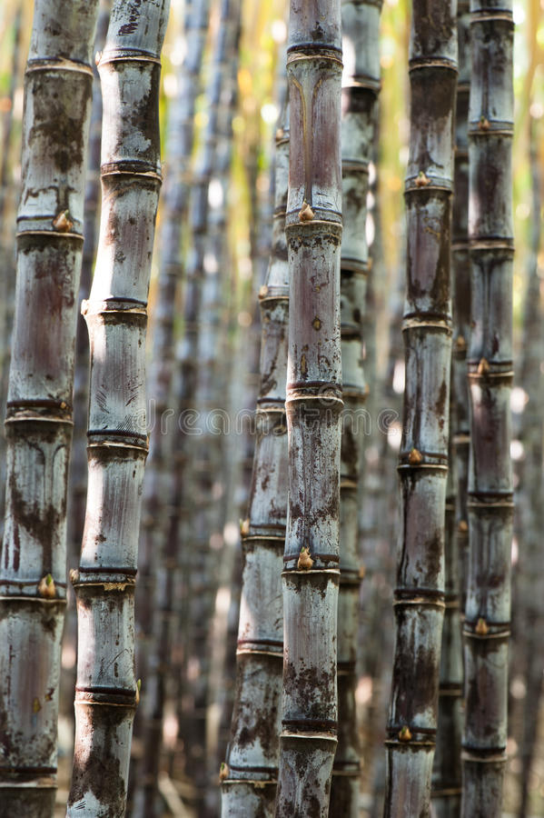 Sugarcane plants. In growth at field stock photos