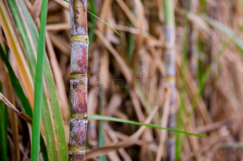 Sugarcane plants in growth at field. It is raw material of sugar production royalty free stock photos