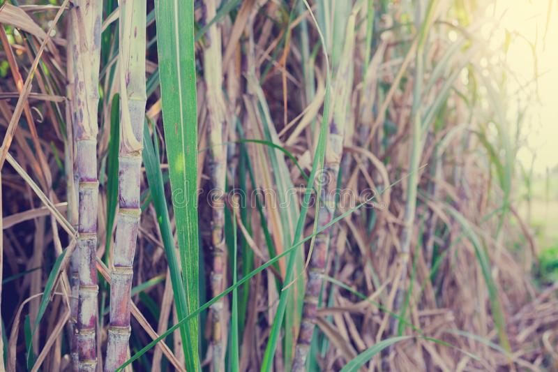 Sugarcane plants in growth at field. It is raw material of sugar production royalty free stock images