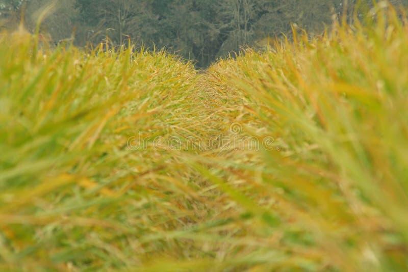 Sugarcane rows. Rows of sugarcane, Four Corners, Louisiana stock photography