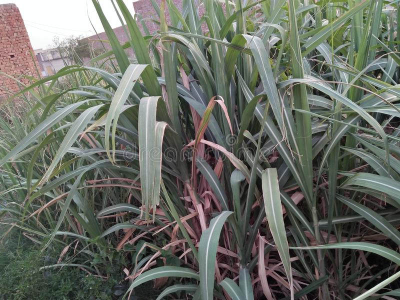 SUGARCANE ,SACCARAM OFFICINARUM. PERENNIAL GRASS IN THE FAMILY POACEAE GROWN FROM IT& x27;S STEM WHICH IS PRIMARILY USED TO PRODUCE SUCROSE .SUGARCANE HAS A stock photos