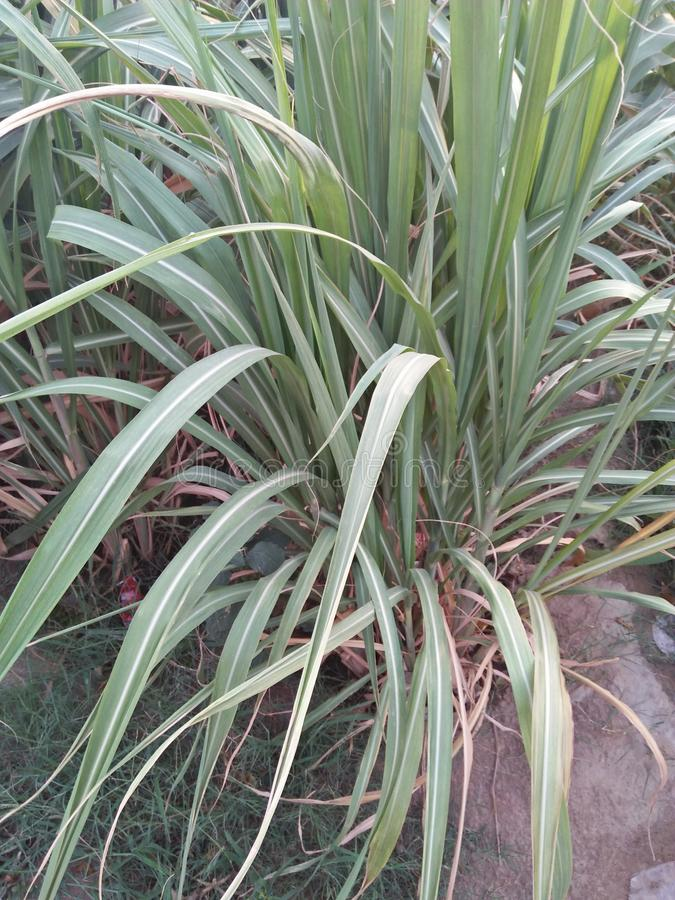 SUGARCANE ,SACCARAM OFFICINARUM. PERENNIAL GRASS IN THE FAMILY POACEAE GROWN FROM IT& x27;S STEM WHICH IS PRIMARILY USED TO PRODUCE SUCROSE .SUGARCANE HAS A stock photo