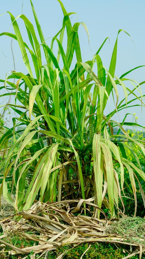 sugar cane farming with full view. royalty free stock images