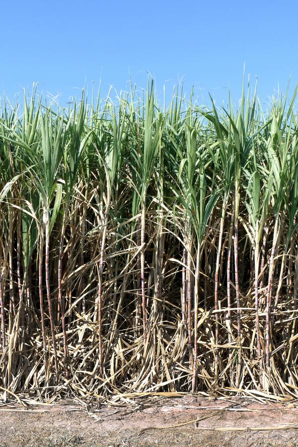 Sugar cane, Sugarcane plants grow in field, Plantation Sugar cane tree farm, Background of sugarcane field. The Sugar cane, Sugarcane plants grow in field royalty free stock photography