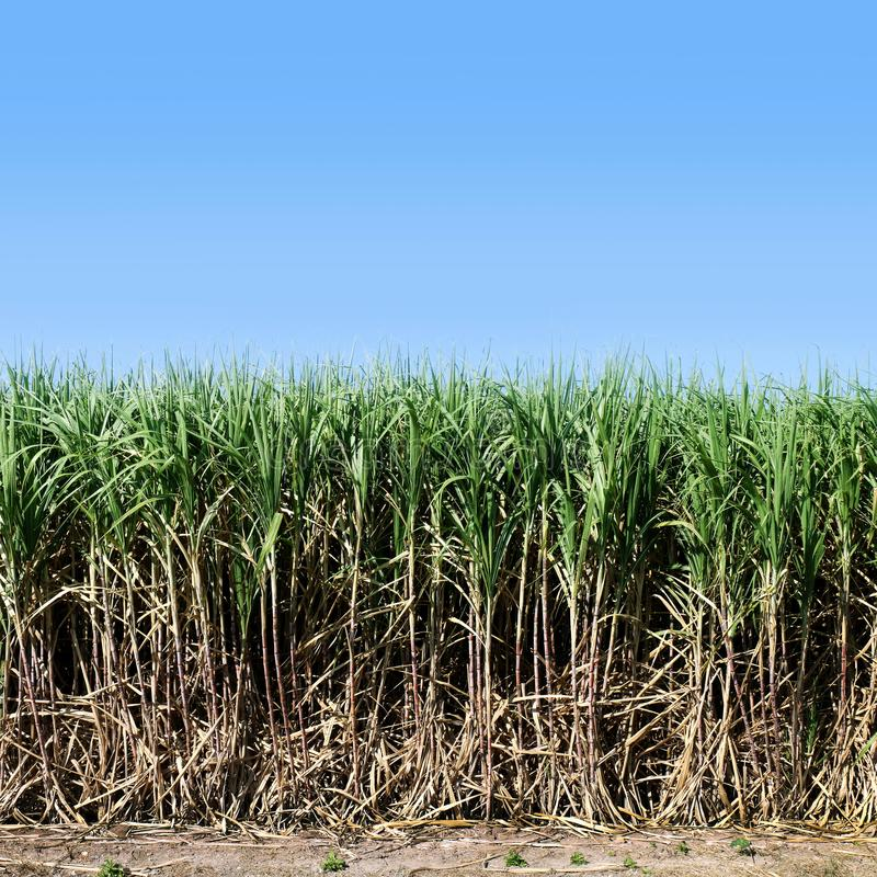 Sugar cane, Sugarcane plants grow in field, Plantation Sugar cane tree farm, Background of sugarcane field. The Sugar cane, Sugarcane plants grow in field stock images