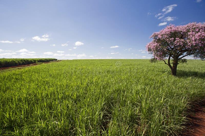 sugarcane vietnam för landskap för hoakhanhkoloni fotografering för bildbyråer