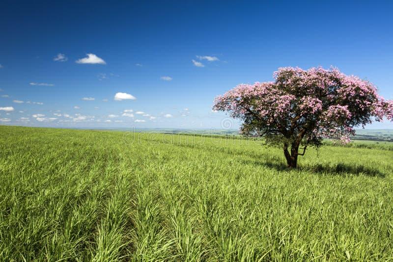 sugarcane vietnam för landskap för hoakhanhkoloni royaltyfri fotografi