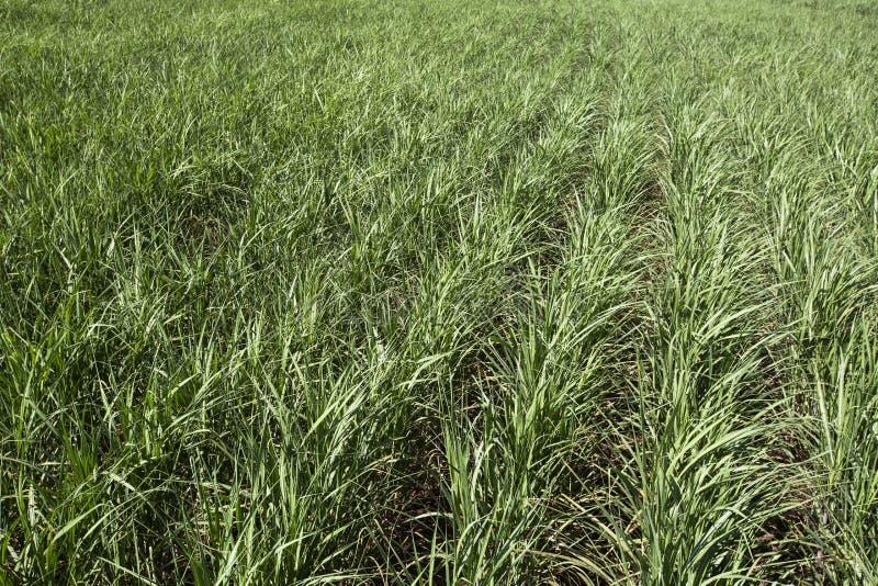 sugarcane vietnam för landskap för hoakhanhkoloni royaltyfri foto