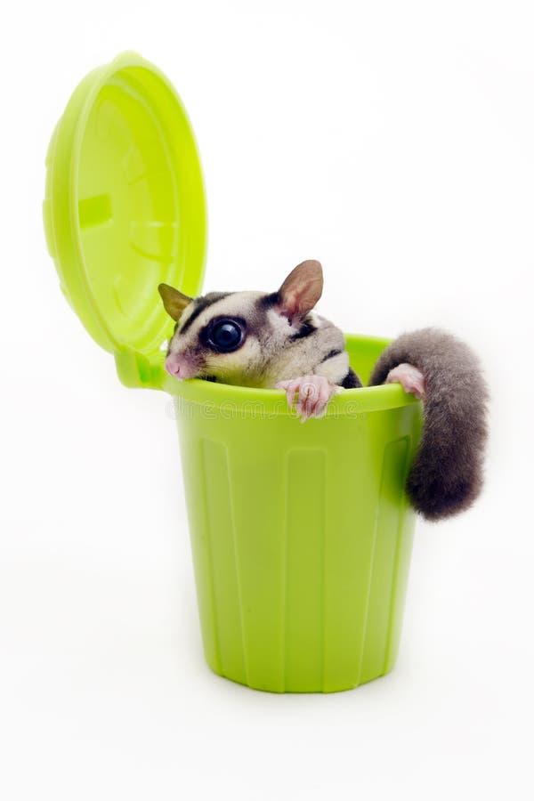 Sugarglider in bidone della spazzatura verde che guarda fuori immagini stock libere da diritti