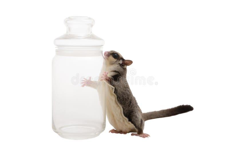 Sugarglider con la bottiglia fotografia stock libera da diritti