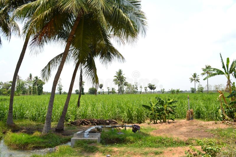 Sugercane  Field wth coconut trees. In tamilnadu taken by nikon camer stock image